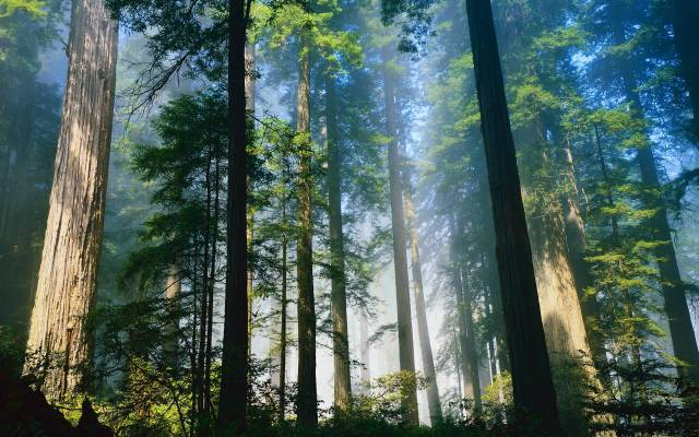 Redwood-Forest-California-Wallpaper.jpg